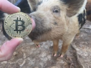 Free Bitcoin Stock Photo of Pig #2
